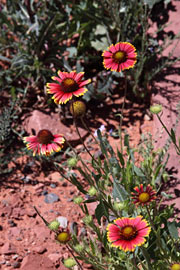 Sedona wildflowers